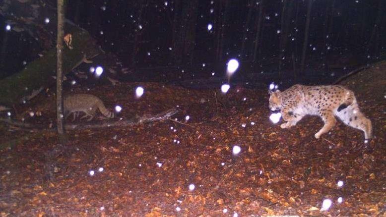 Eine Aufnahme, die im Rahmen des Monitorings gemacht wurde, zeigt eine seltene Situation: Einen Luchs, der einer Wildkatze auf der Spur ist.