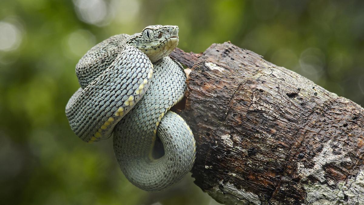 Jaracara-Lanzenotter (Viperart aus dem Südosten Brasiliens)