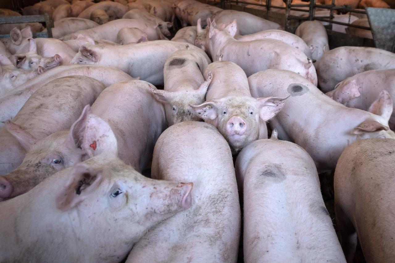 ARCHIV - Schweine stehen in einem Stall. Foto: Sina Schuldt/dpa +++ dpa-Bildfunk +++