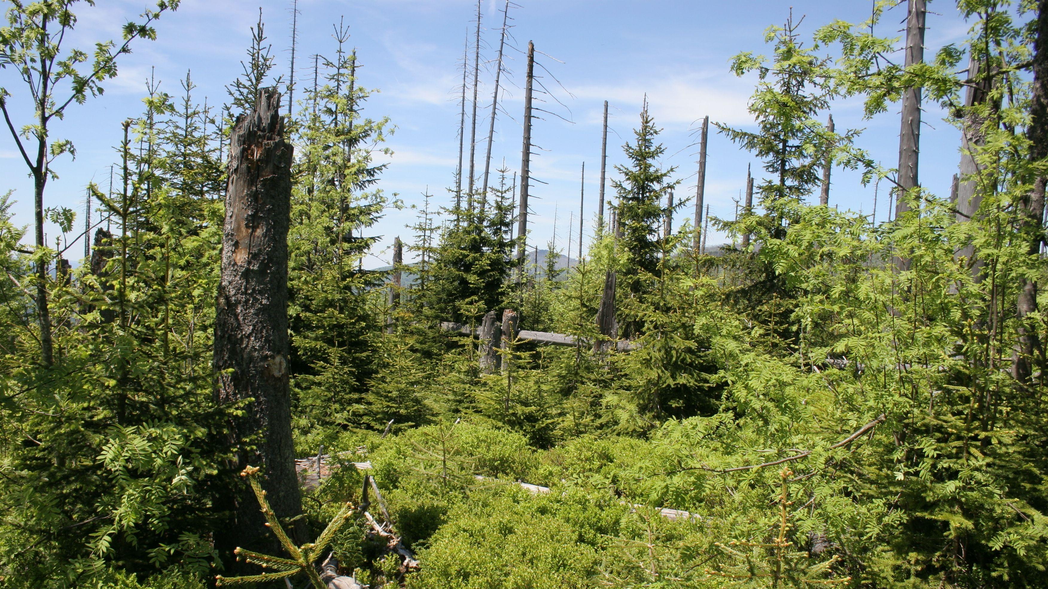Der Nationalpark Bayerischer Wald kämpft mit einem Borkenkäfer-Problem