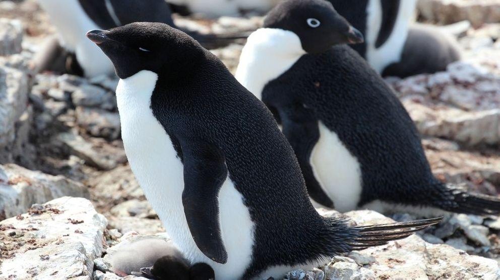 Adeliepinguine, die in der Antarktis von Pinguin-Kot umgeben sind.