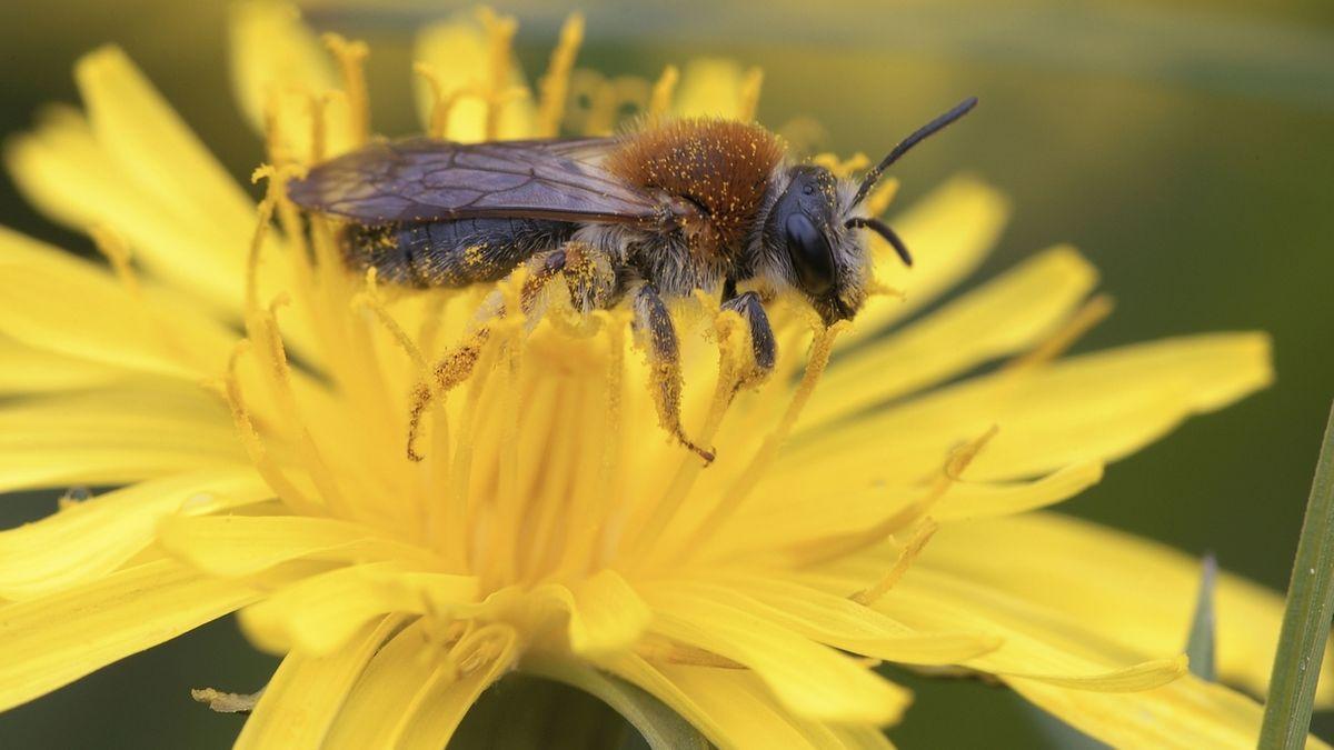 Dunkle Honigbiene sitzt auf einer Löwenzahnblüte.