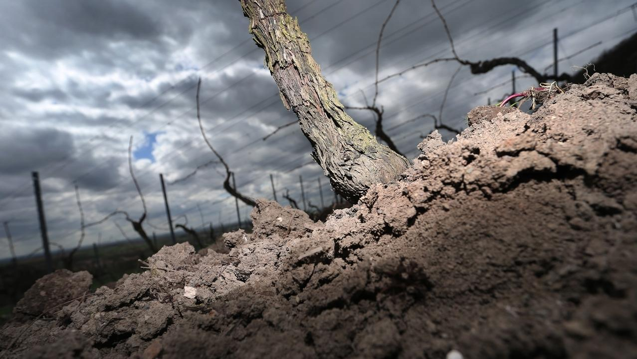 Trokenheit in unterfränkischen Weinbergen