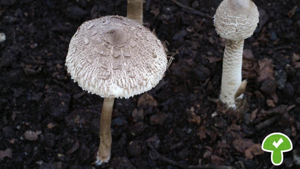 Parasol, essbar, verbreitet: Bei der Zubereitung des Parasols wird der Hut meist vom unverdaulichen Stiel gelöst, trocken gesäubert, gesalzen und in der Pfanne ausgebacken - wie ein Wiener Schnitzel.