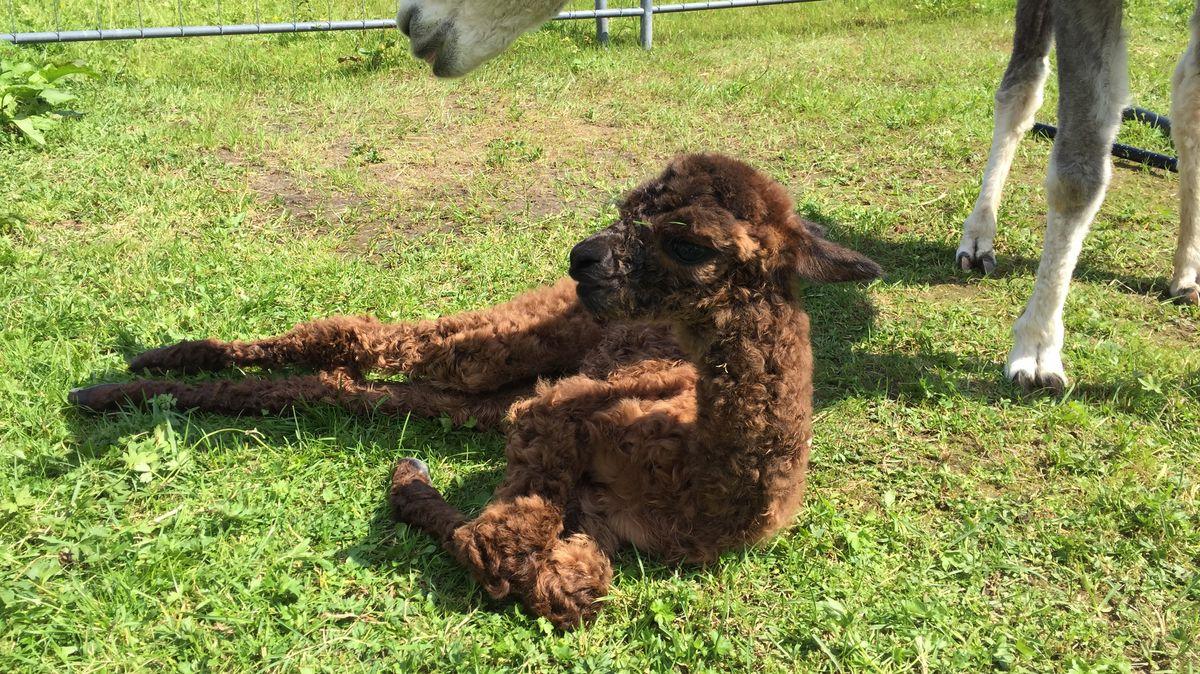 Alpaka-Fohlen Ranja frisch nach der Geburt ...
