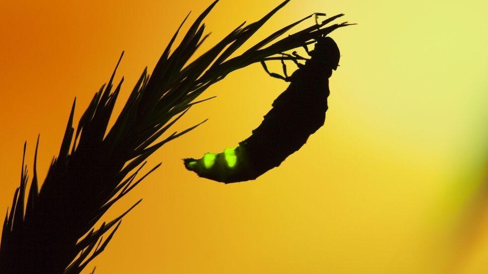 Glühwürmchen-Weibchen auf einem Halm (Großer Leuchtkäfer)