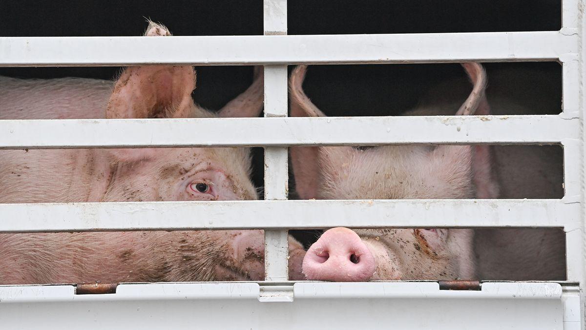 Schweine in einem Lastwagen auf dem Weg zum Schlachthof