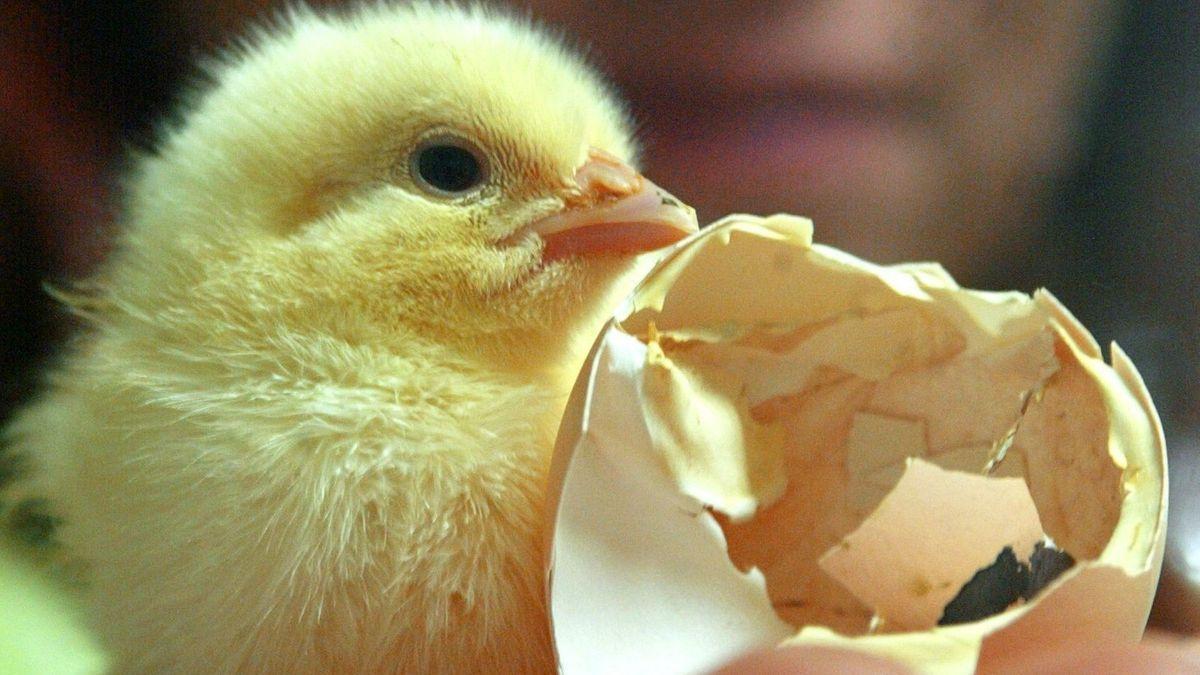 Tierparks und Greifvogelstationen benötigen getötete Eintagsküken als Futter.