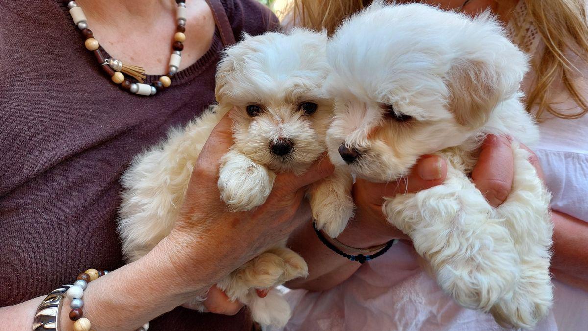 Zwei kleine weiße Hundewelpen in den Händen von zwei Frauen.