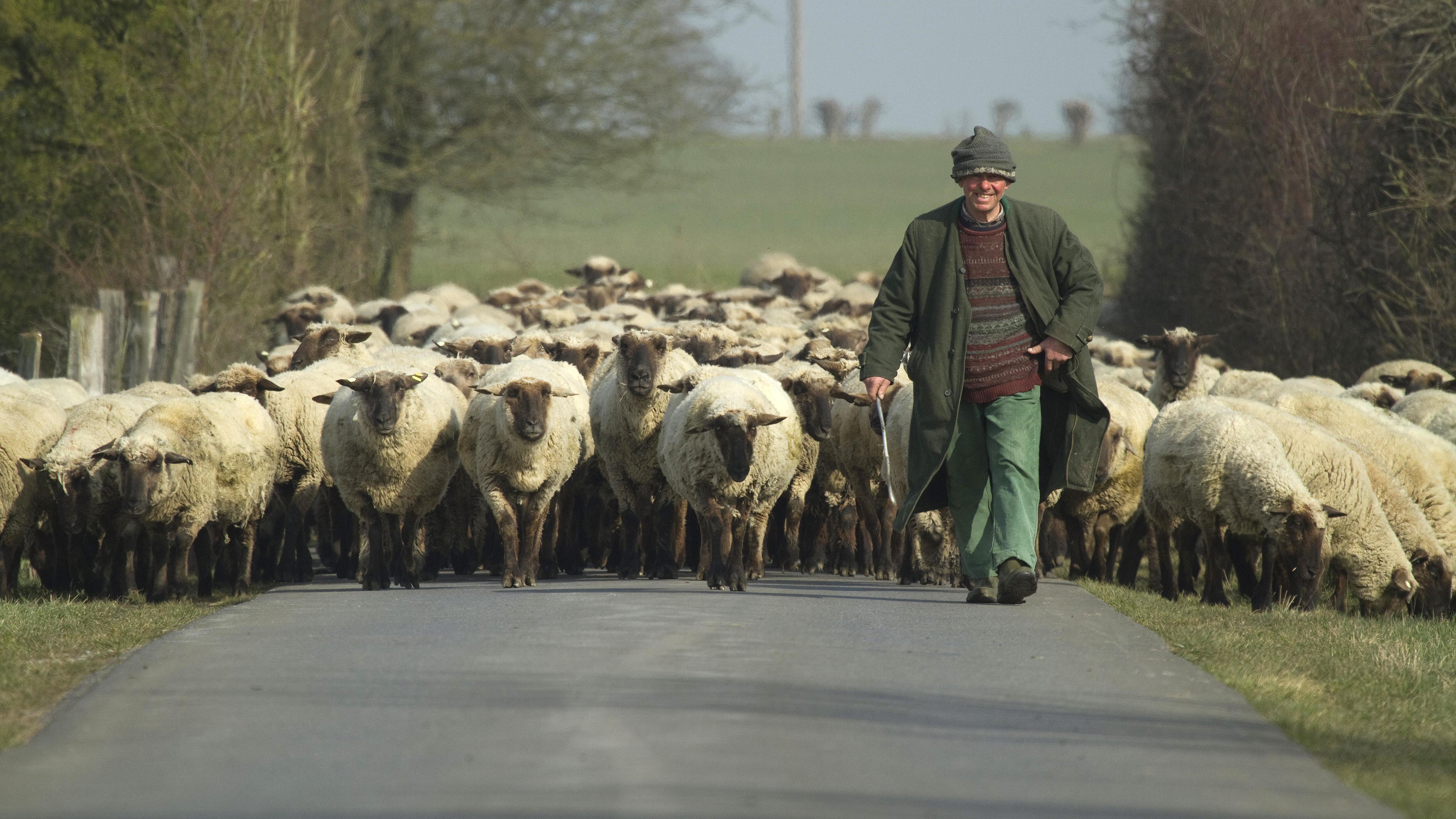 Wanderschaefer mit Herde