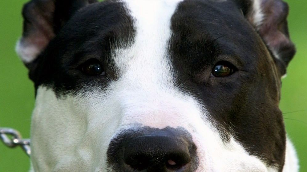American Pitbull-Terrier