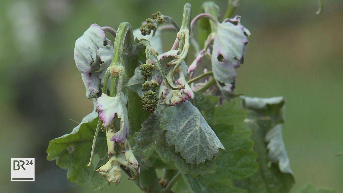 Winzer und Obstbauern: Bayern hilft bei Spätfrost-Versicherung