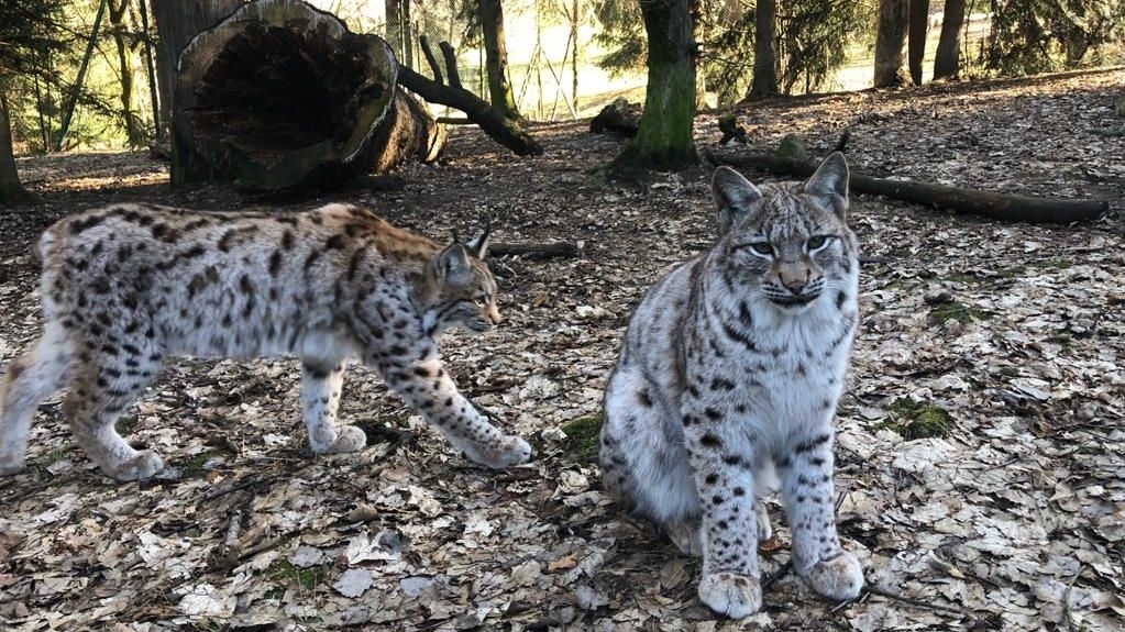 Luchse im Tierpark Lohberg