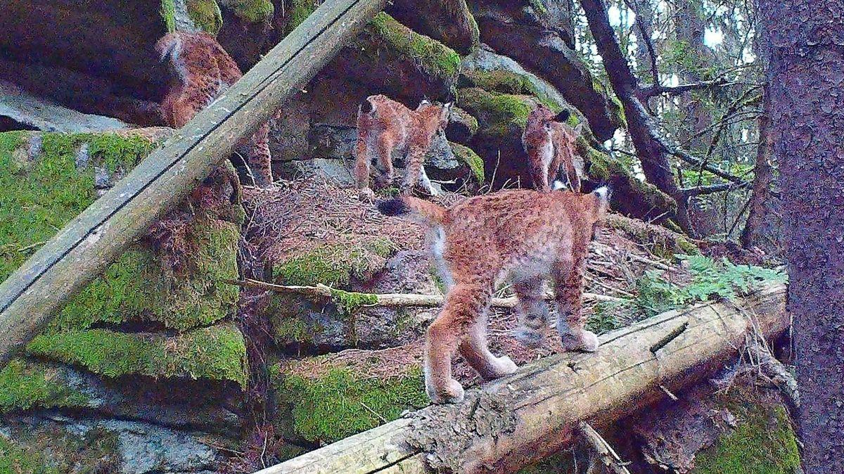 Der Steinwald bietet dem Luchsweibchen und seinem Nachwuchs gute Lebensbedingungen.