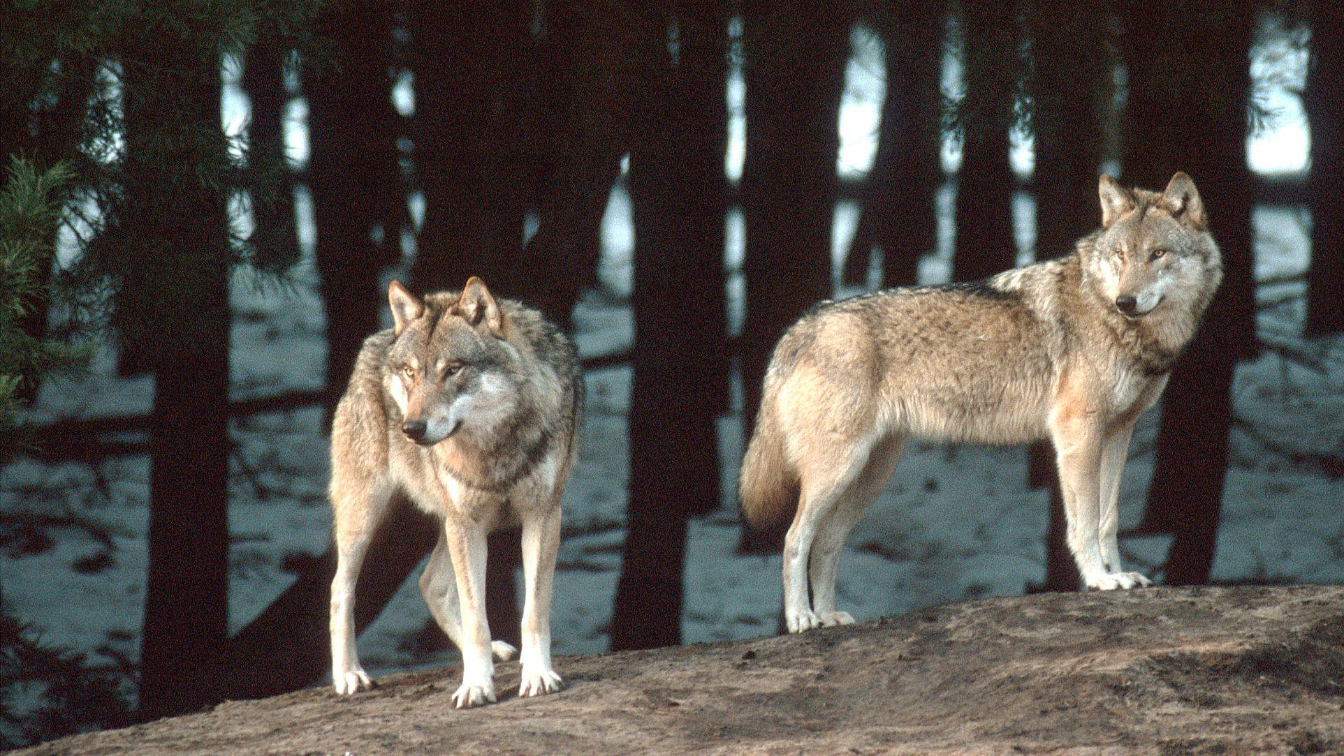 Zwei Wölfe auf einem Stein im Wald
