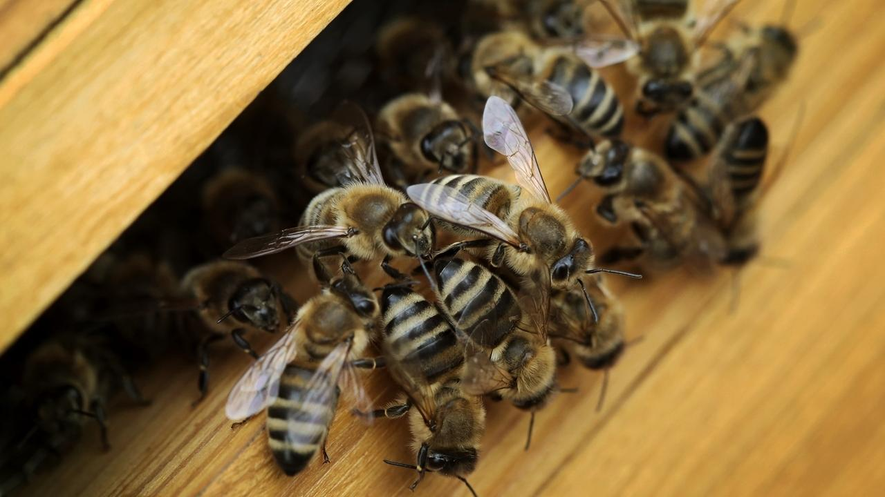 Bienensterben: Hoher Verlust an Bienenvölkern