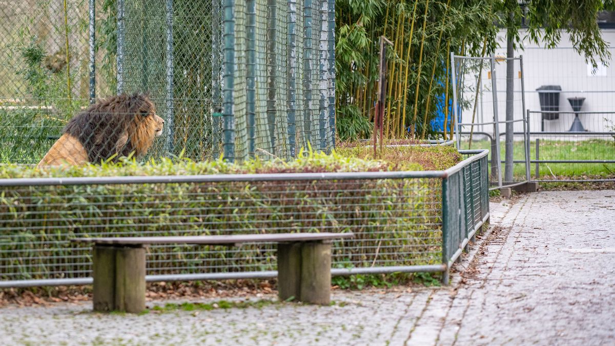 Löwe sitzt in seinem Gehege im Tiergarten Straubing neben einem menschenleeren Weg