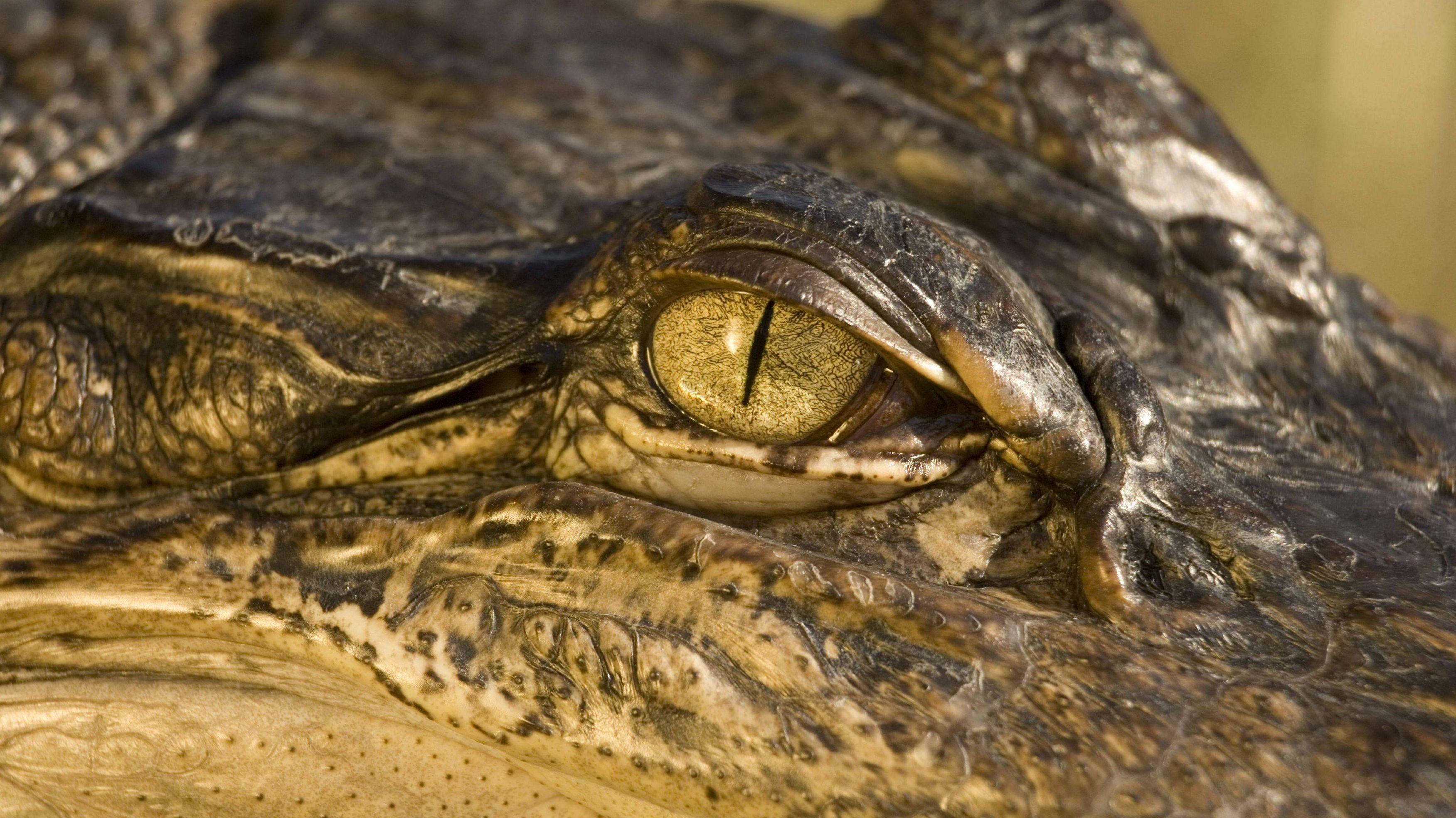 USA: Alligator beißt Streifenwagen