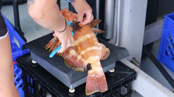 Die Fische werden gewogen und analysiert.