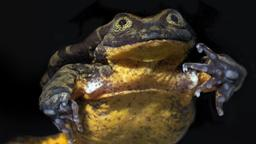 Der einsamste Frosch der Welt bekommt ein Date in Bolivien | Bild:dpa-Bildfunk/Alarcon/Grunbaum