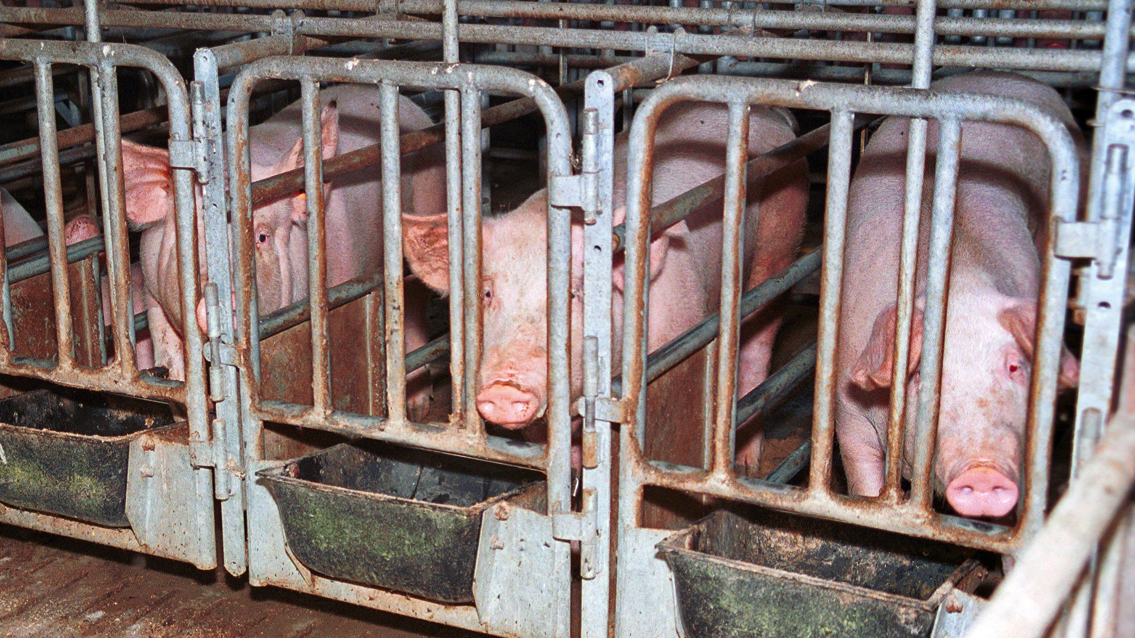 Schweine stehen eng nebeneinander in den sogenannten Kastenständen