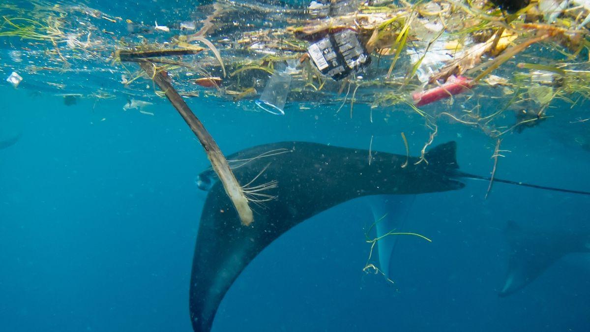 Mikroplastik belastet Mantarochen