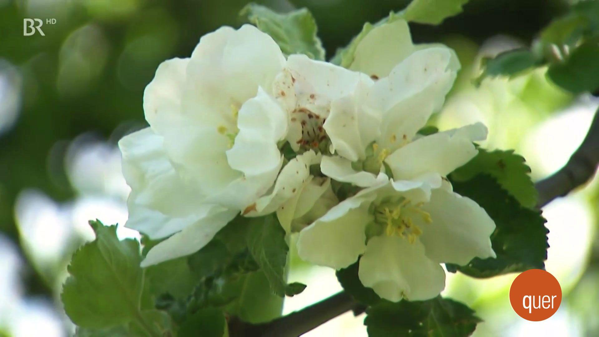 Blüten eines Obstbaumes