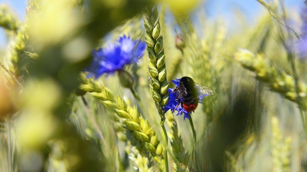Eine Steinhummel (Bombus lapidarius) in einem Weizenfeld. Der Weltbiodiversitätsrat (IPBES) schlägt Alarm: Wenn die biologische Vielfalt schwindet, ist unser Wohlergehen in Gefahr.