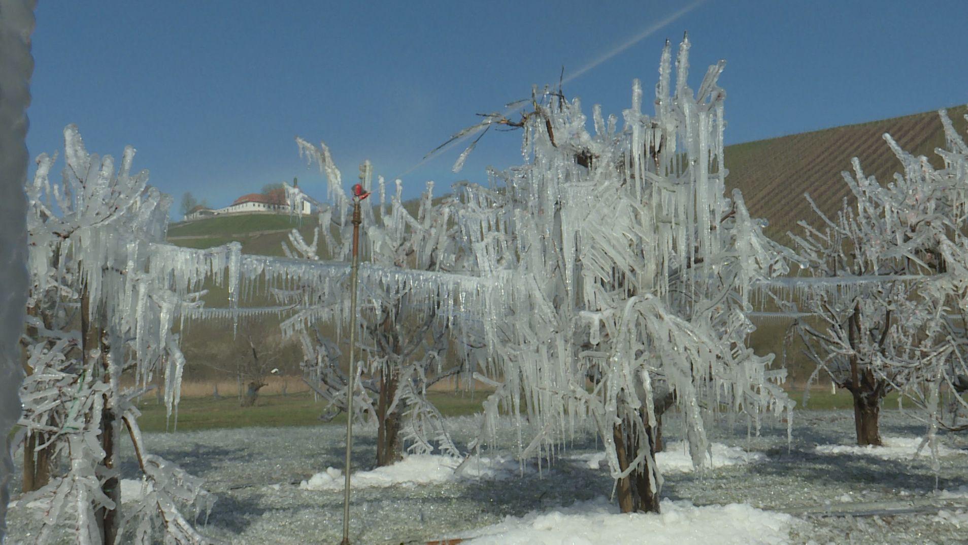Mit Eis überzogene Obstbäume in Escherndorf im Landkreis Kitzingen