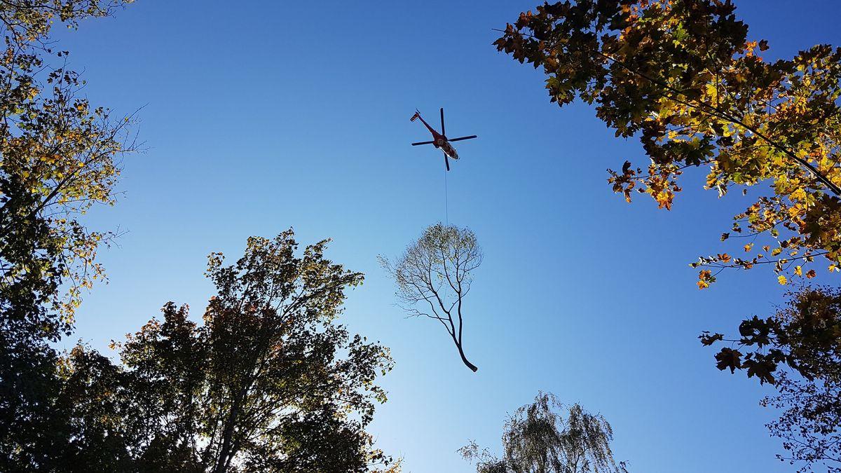 Eine gefällte Esche wird vom Hubschrauber abtransportiert.