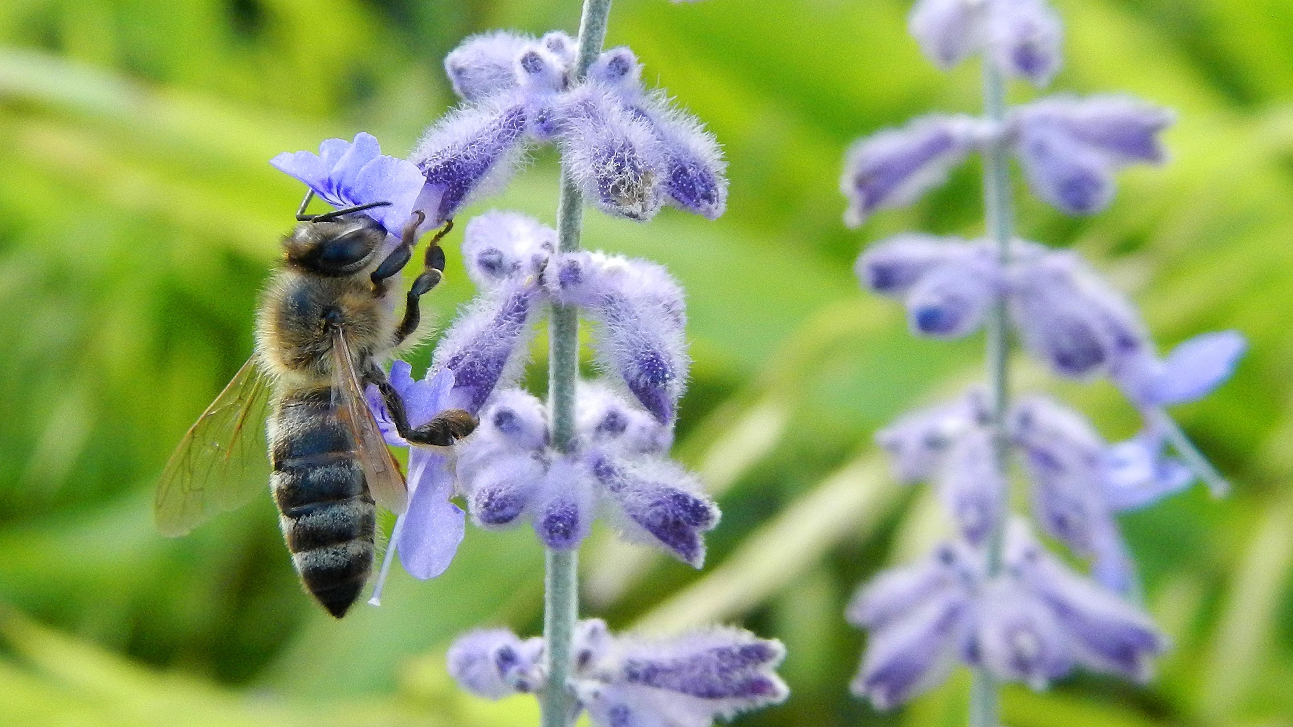 Symbolbild: Eine Biene beim Sammeln von Nektar.