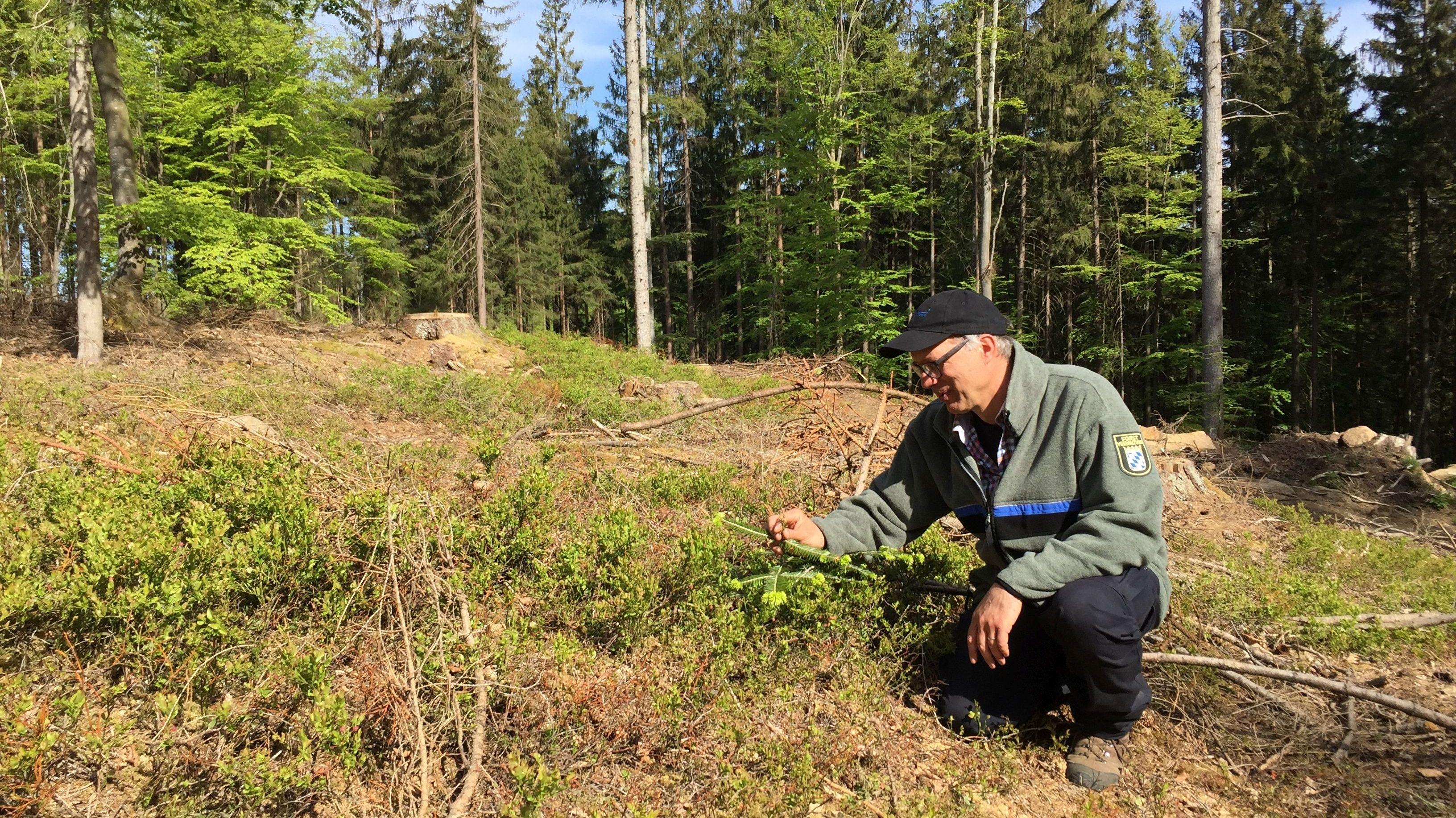 Stefan Schaffner vom AELF Regen, zuständig für die Privatwaldbesitzer, sucht auf einer Kahlfläche nach jungen Bäumchen