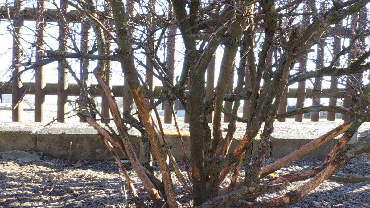 Ein abgenagter Strauch - nur einer von vielen in der Kleingartensiedlung.