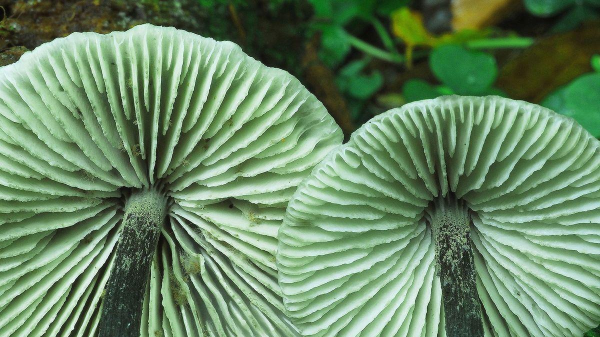 Der Buchenwald-Zärtling, ein seltener Pilz im Böhmerwald