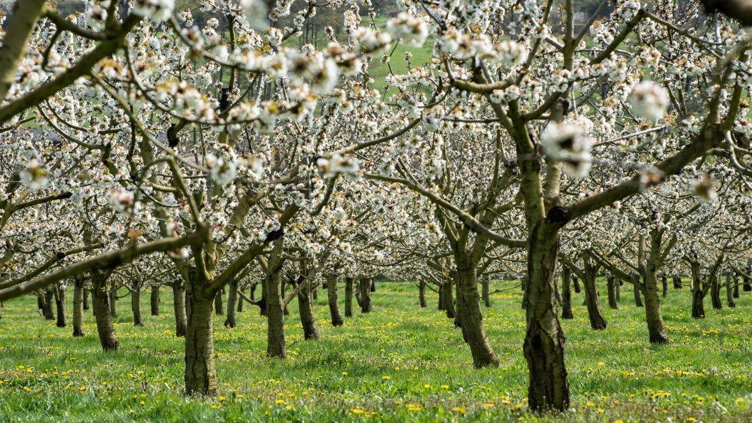 Symbolbild: Blühende Kirschbäume auf einer Wiese.
