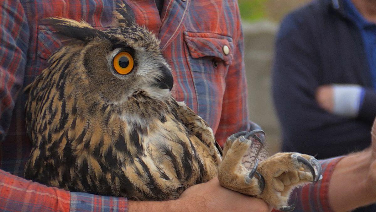 In der LBV-Vogelauffangstation Regenstauf wurden sie von Falkner Ferdinand Baer aufgezogen, da sie ohne Altvögel nicht überlebt hätten.