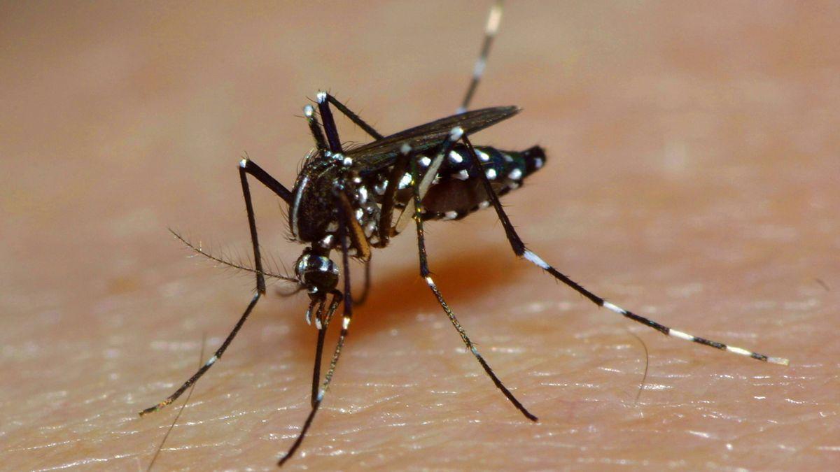 Asiatische Tigermücke, auch als Aedes albopictus bekannt, auf menschlicher Haut