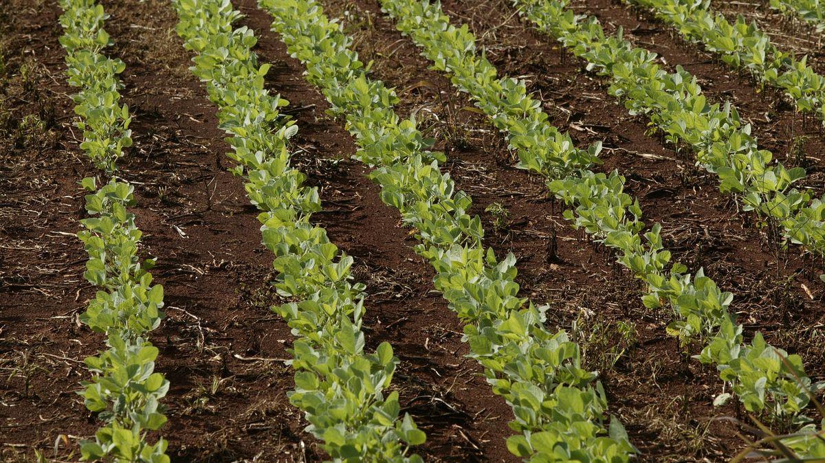 Symbolbild: Junge Sojapflanzen, genmanipulierter Anbau, Paraguay