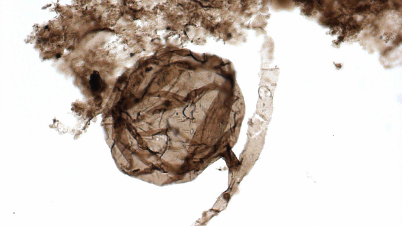 Pilzfossilien von Ourasphaira giraldae