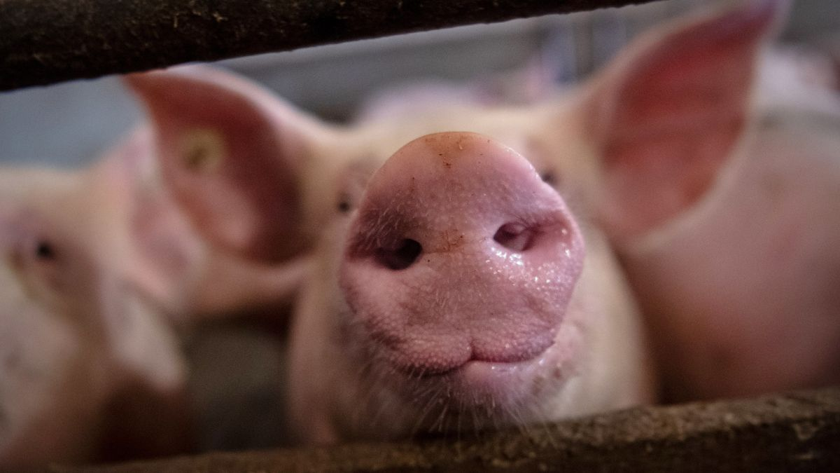 Schweine im Stall (Symbolbild)