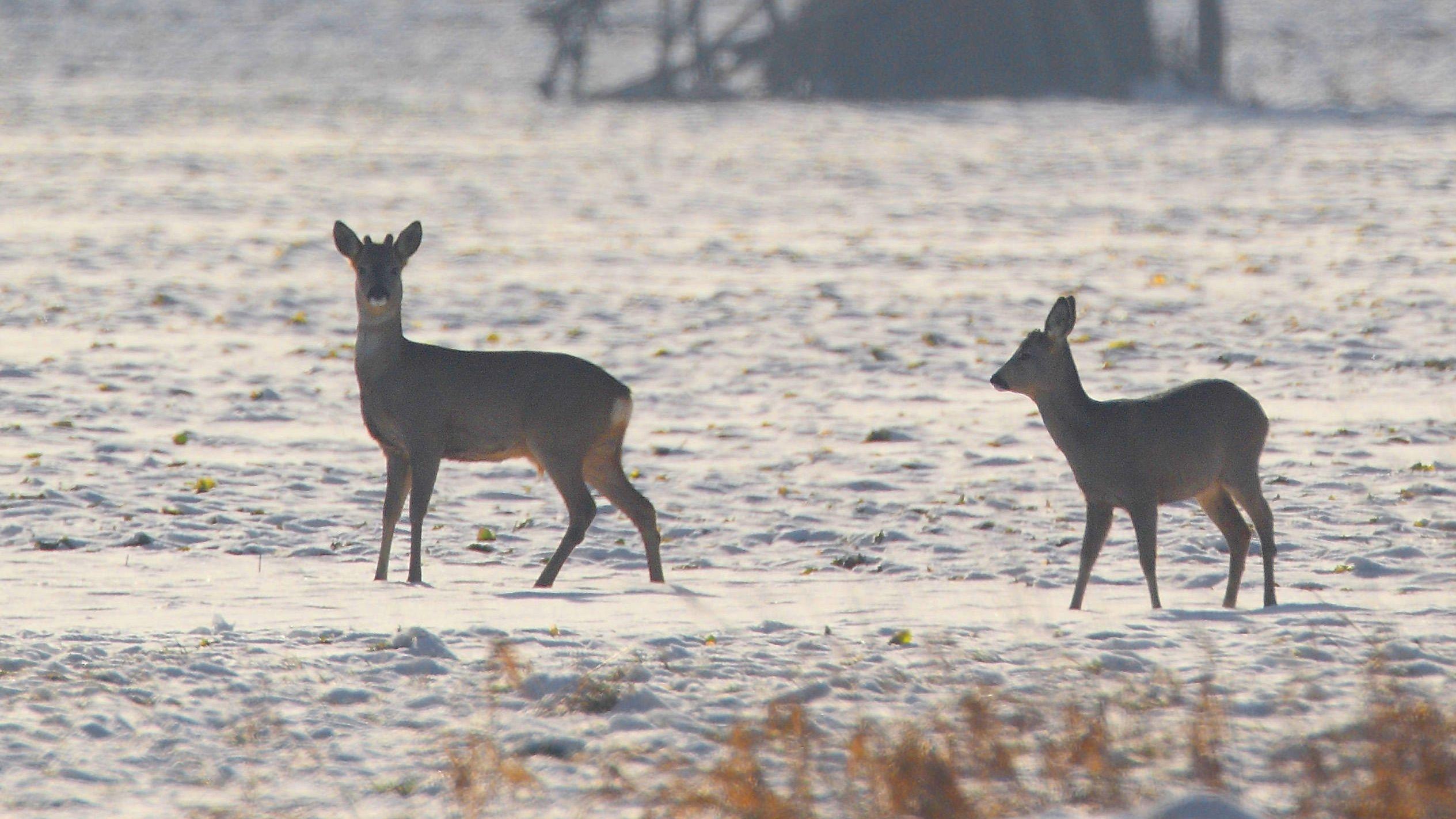 Zwei Rehe in winterlicher Feldlandschaft