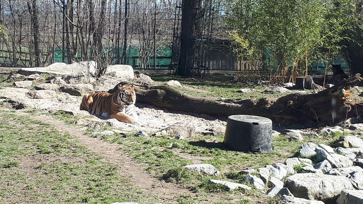 Ein Tiger im Gehege des Straubinger Tiergartens