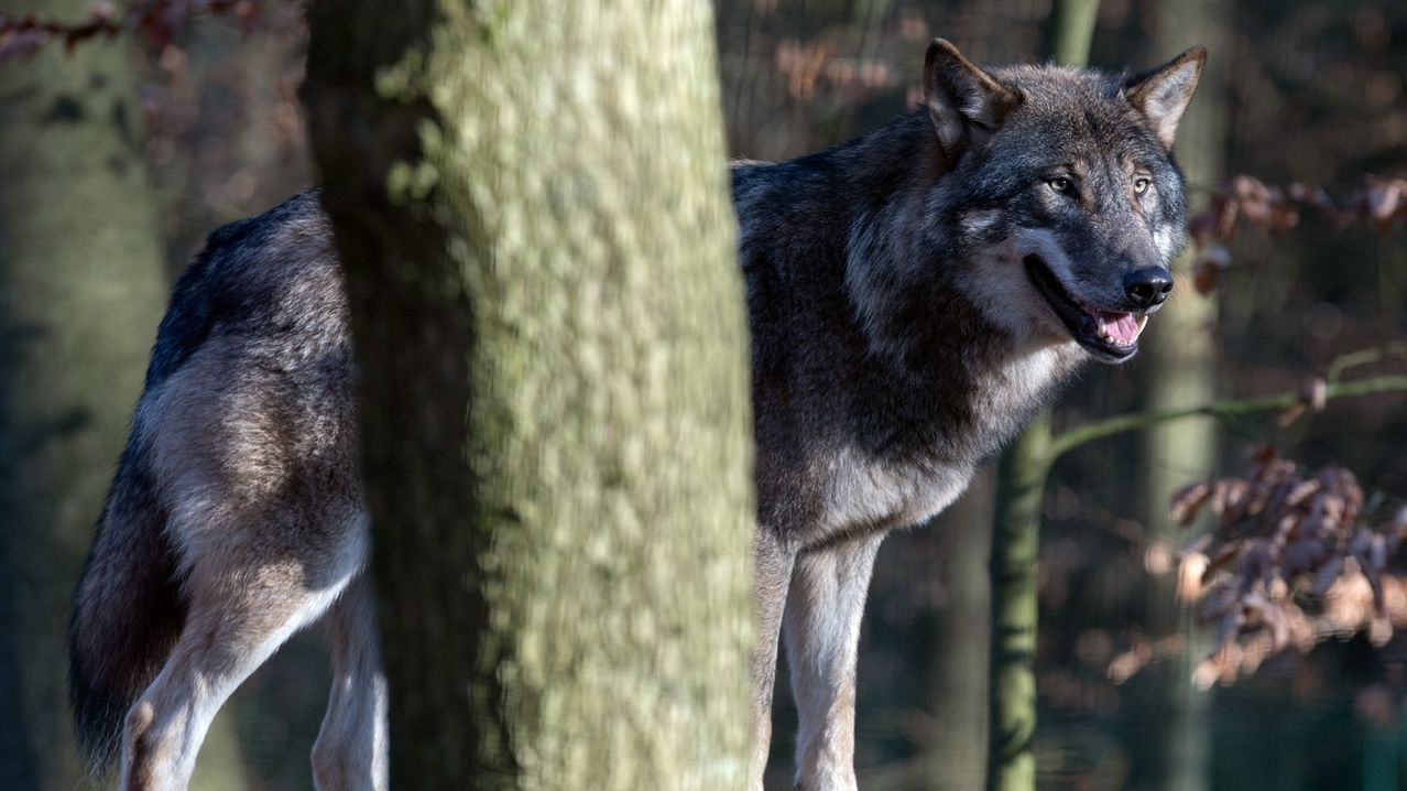 Ein Wolf in einem Wald.