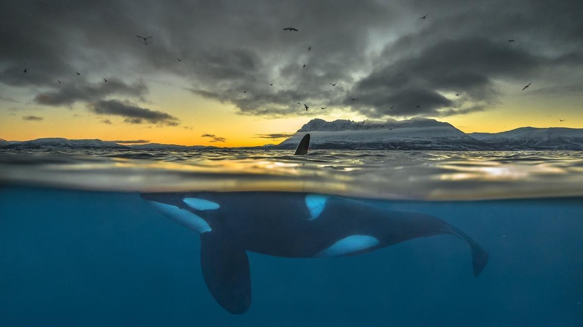 Ein Orca schwimmt die Küste Nordnorwegens entlang. Das langlebige Umweltgift PCB bedroht einer Studie zufolge einen großen Teil der weltweiten Orca-Populationen.