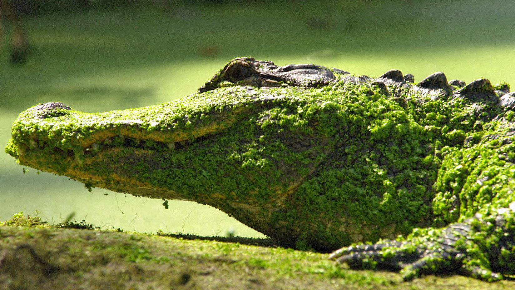 Krokodil, das als Haustier gehalten wurde