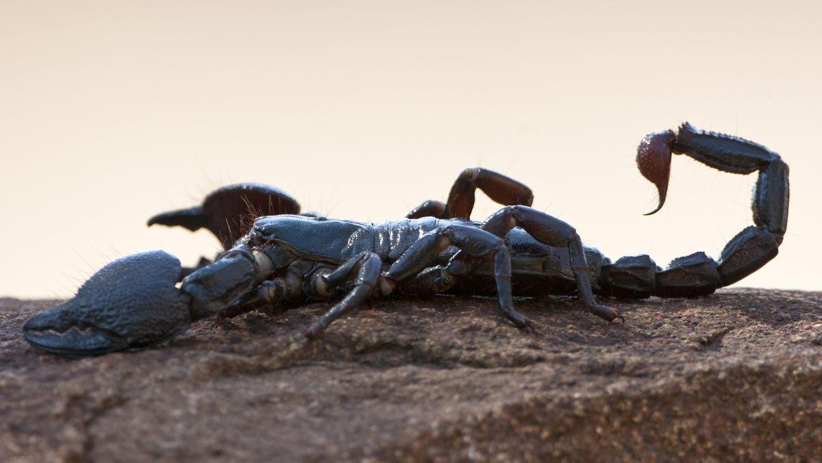 Seitenansicht eines Skorpion (Parabuthus transvaalicus) aus dem Kruger-Nationalpark in Südafrika