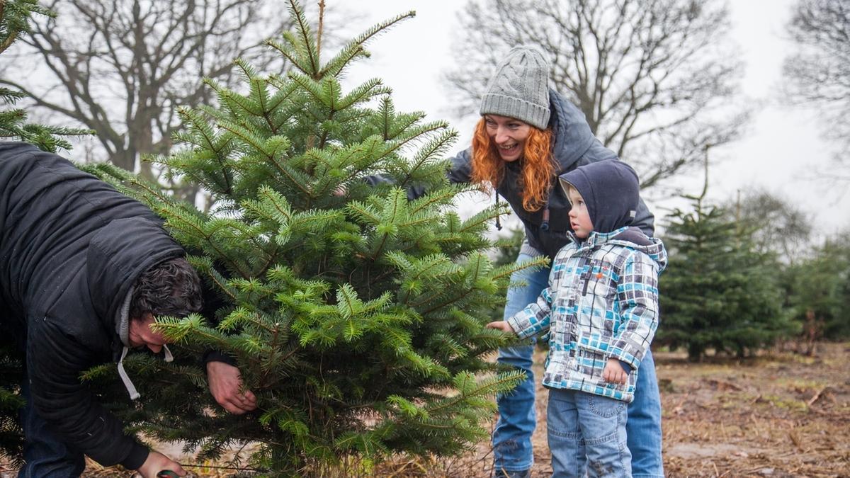 Ein Mann fällt einen Weihnachtsbaum, waehrend seine Frau mit dem Sohn zuschaut