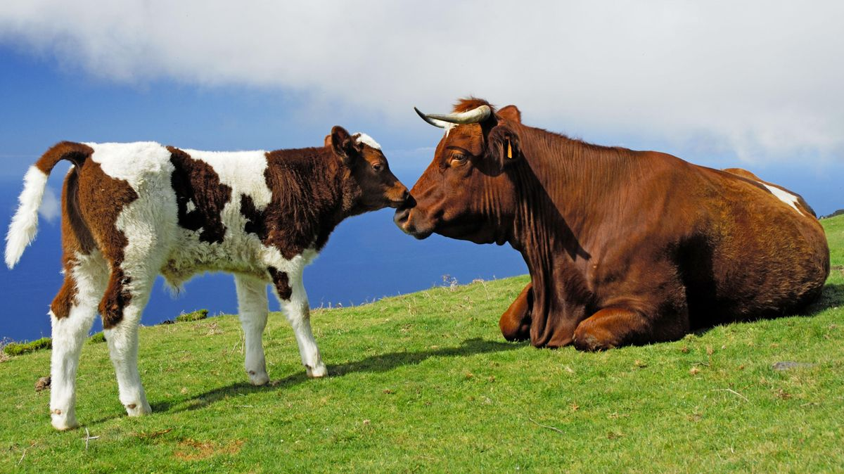 Kuh mit Kalb (Symbolfoto)