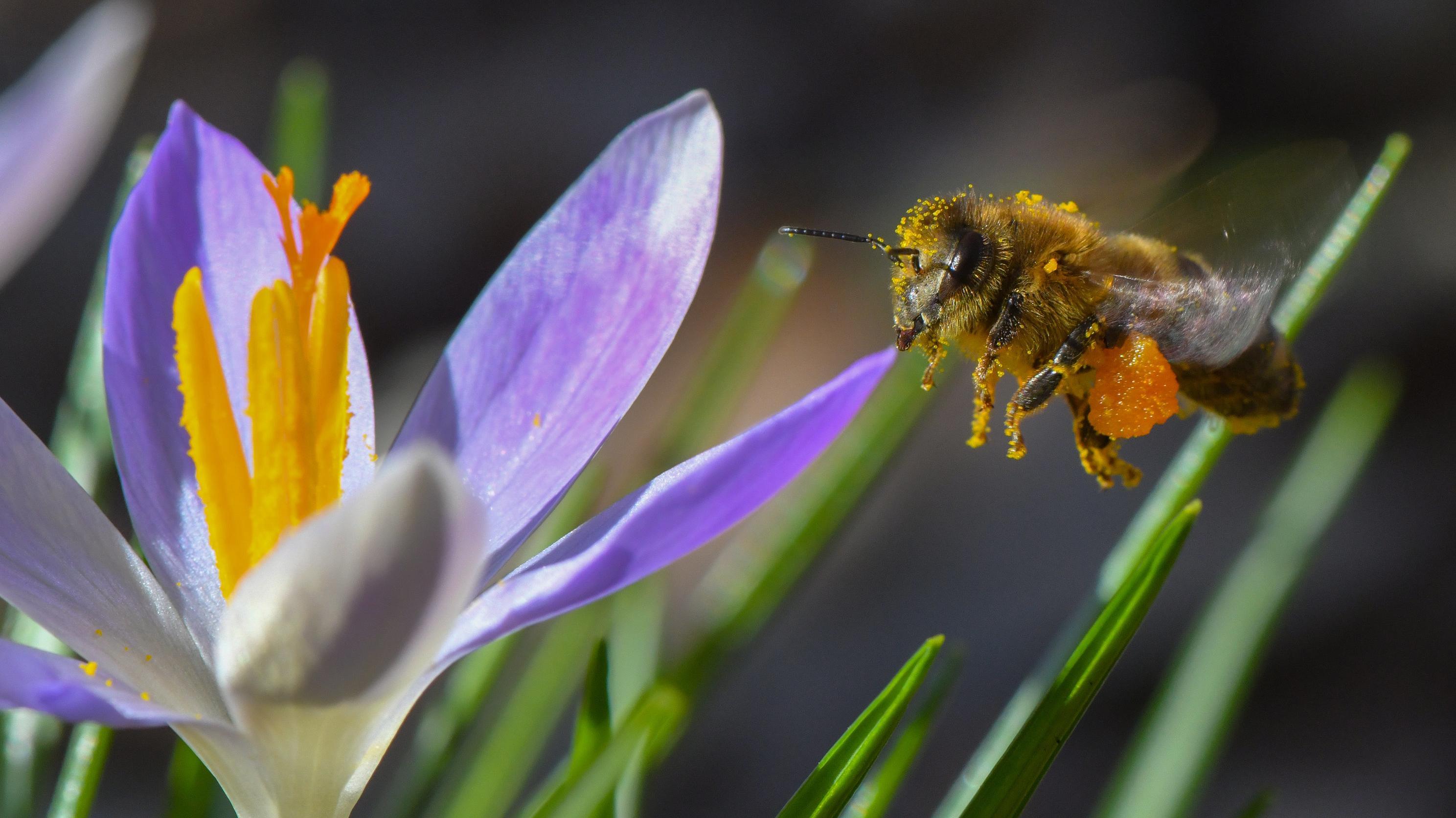 Eine Biene fliegt auf einen Krokus zu
