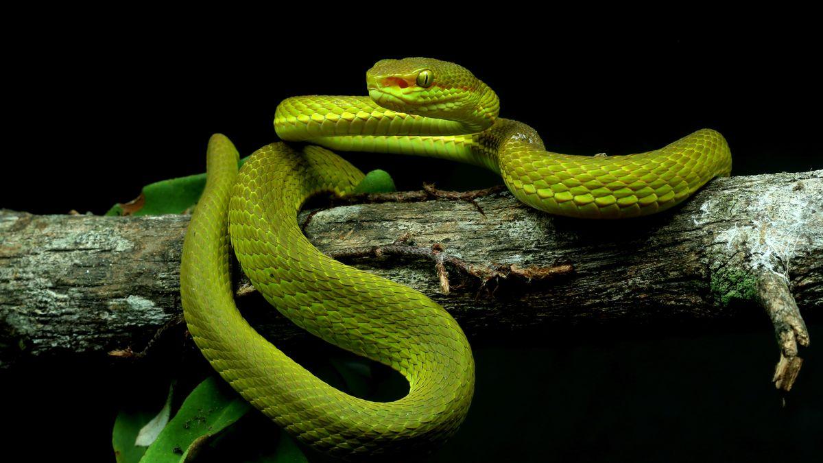 """Eine neu entedeckte Schlange, die von Forschern Trimeresurus salazar, nach Salazar Slytherin aus """"Harry Potter"""", benannt wurde."""